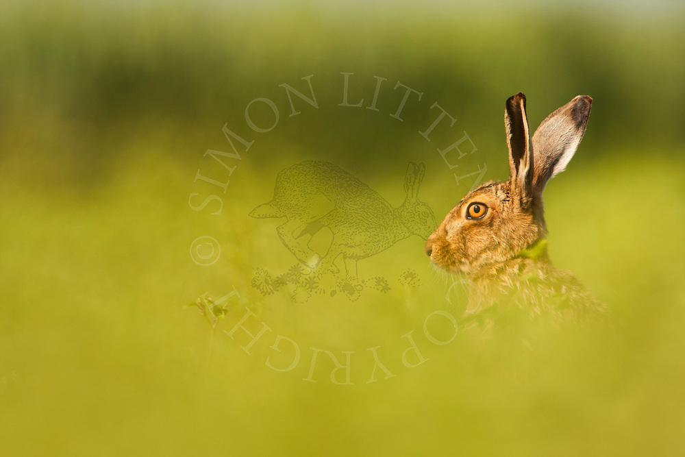 European Hare (Lepus europaeus) adult, looking out over white mustard shoots, Norfolk, UK.