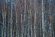 White Birches in the Winter