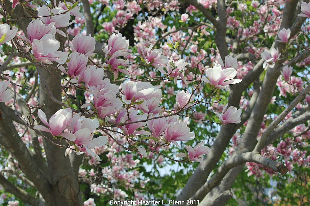 Magnolia blossoms in Manchester-by-the-Sea, Massachusetts
