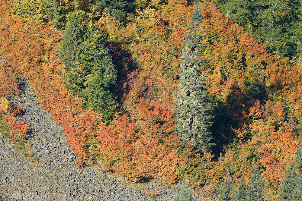 Autumn Vine Maple (Acer circinatum) paint a steep slope along with Noble Fir (Abies procera) in Stevens Canyon, Mount Rainier National Park, Washington, USA
