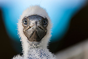 Rescued Red-footed Booby (Sula sula) chicks, Half Moon Caye, Belize