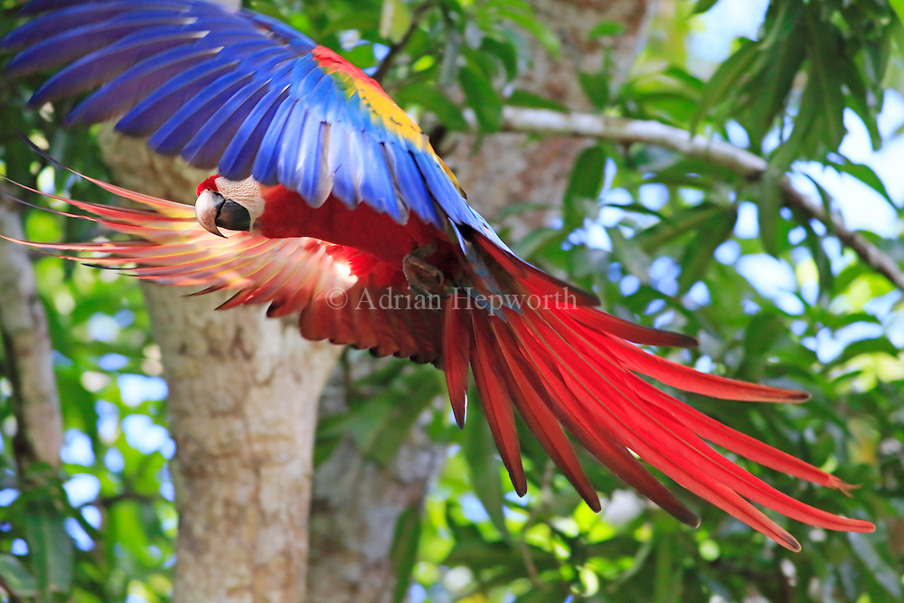 Scarlet Macaw (Ara macao) flying. Guanacaste, Costa Rica. <br />