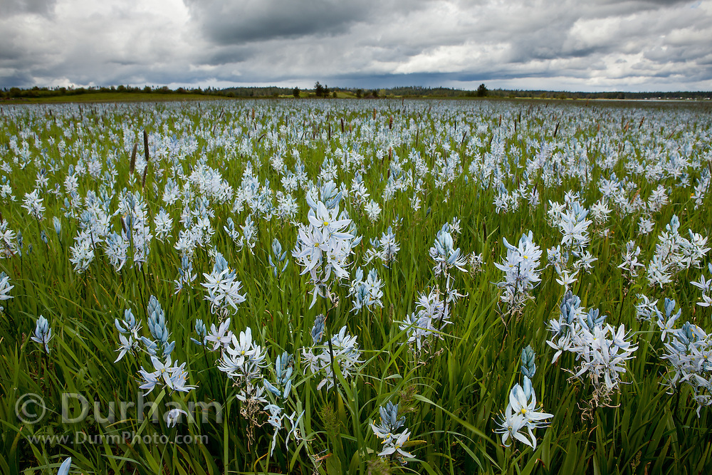 Camas flowers (Camassia quamash), On Weippe Prairie, Idaho. On September 20, 1805 the first members of Lewis and Clark's Corps of Discovery, including Clark himself, emerged starving and weak onto the Weippe Prairie. There they encountered the Nez Perce, who were attracted to the area by the abundant hunting, as well as the fields of camas flowers, whose roots were a staple of their diet.