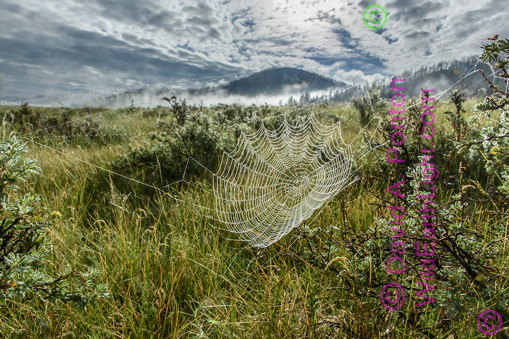 Orb web with dew in the early morning in the Valle Grande grassland, Valles Caldera National Preserve, © 2017 David A. Ponton [Prints to 8x12, 16x24, 24x36 or 40x60 in. with no cropping]