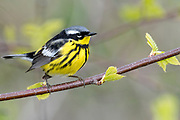 Magnolia Warbler, Setophaga magnolia, male, Iosco County, Michigan
