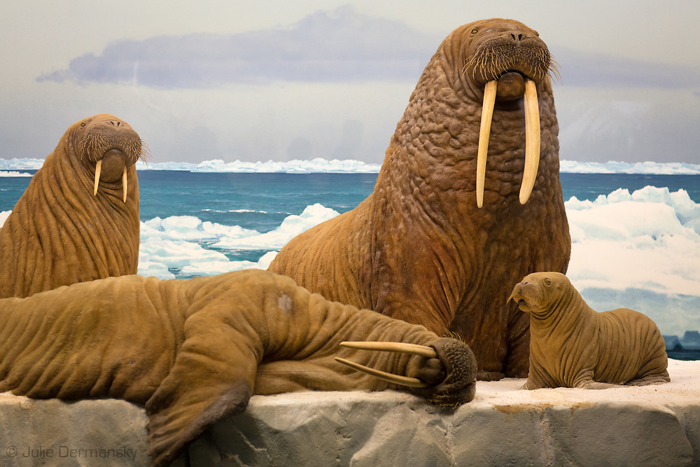 Walrus display at the  Natural History Museum of Los Angeles County
