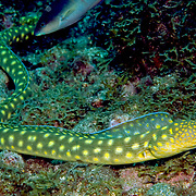 Sharptail Eel inhabit shallow areas of sand, rubble and seagrass near patch reefs; forage in open during day in Tropical West Atlantic; picture taken Bequia, Grenadines.