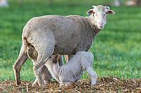 Merino Sheep suckling lamb, Bredasdorp, Overberg, Western Cape, South Africa,