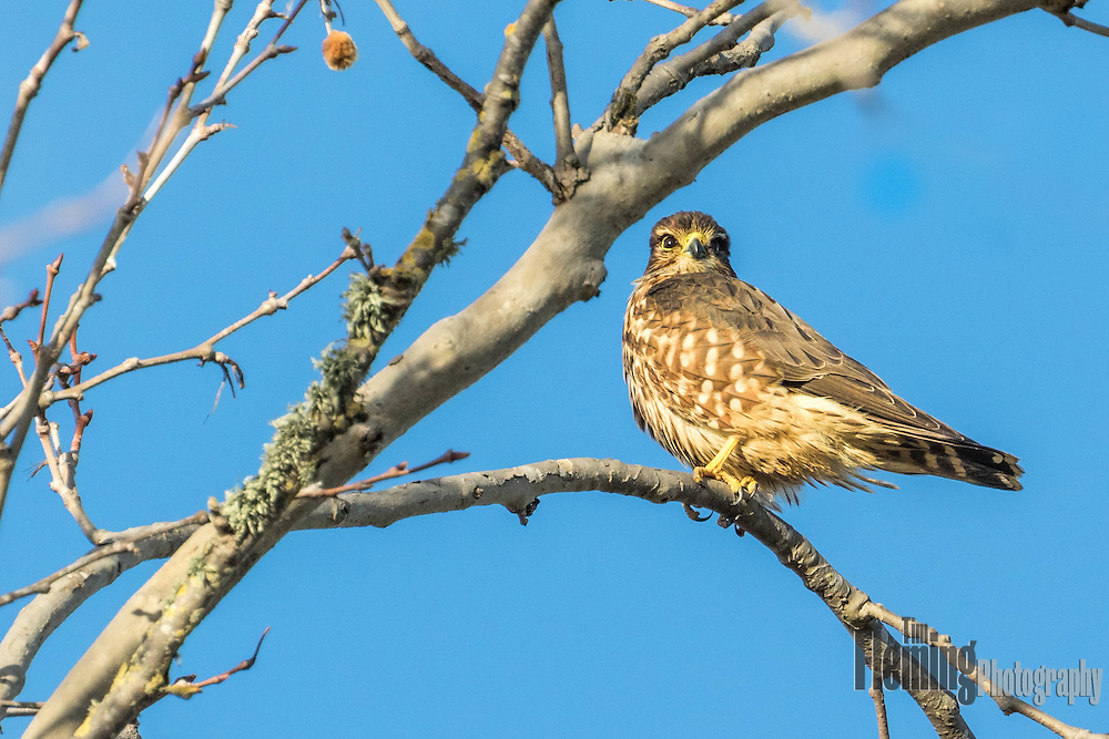 The merlin is is a small species of falcon, seen here perched in a tree near Petaluma, California.