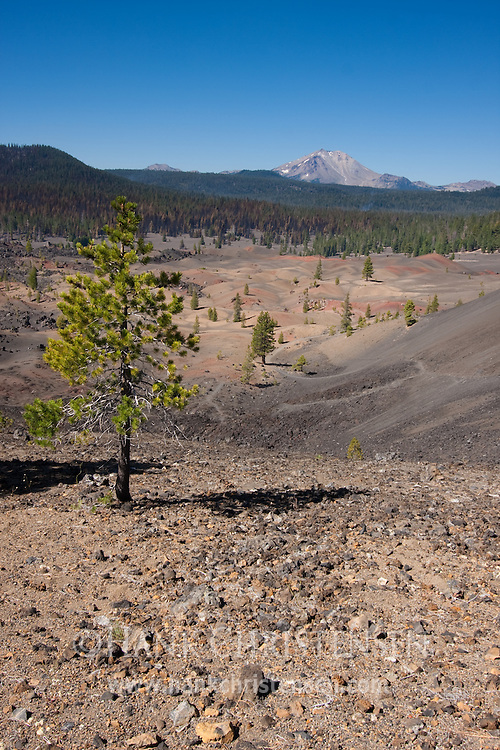 A ltree overlooks ash flows and Mt. Lassen, Lassen National Park
