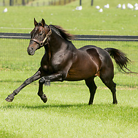 Tara Hills Stud - SHANGHAI PHIL - Pacing Stallion