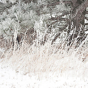 Frost covered pine tree and tall grass in a cold winter day.