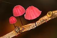 Alberto Carrera, Mushroom, Napo River Basin, Amazonia, Ecuador, South America, America