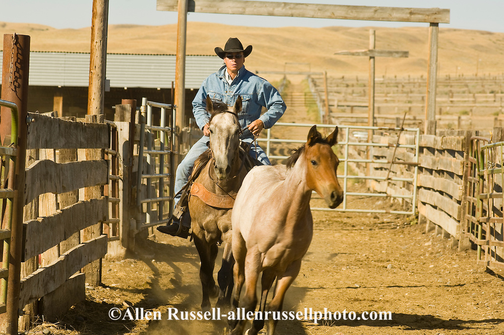 Cowboys working in corrals separating horses, Montana, <br /> MODEL RELEASED
