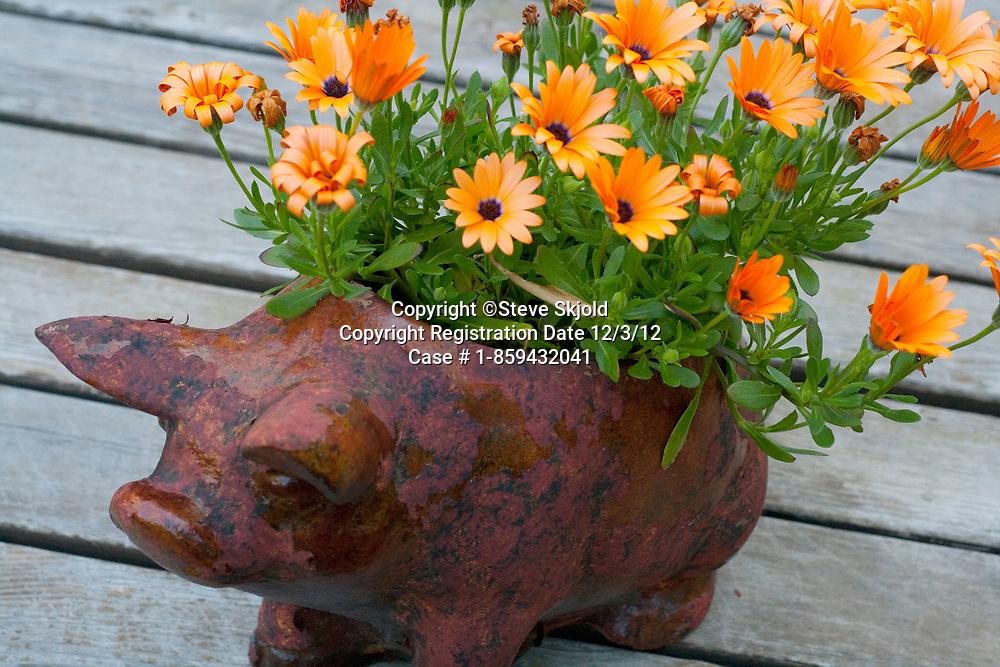 Pig planter of beautiful orange daisies. St Paul Minnesota MN USA
