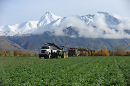 A crew from Vanderweele Farm in Palmer, Alaska harvests carrots.
