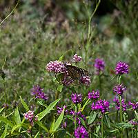 Swamp Milkweed- Asclepias incarnata