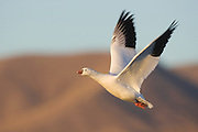 This stock photo shows a snow goose in Bosque del Apache in New Mexico.  Tens of thousands of these birds cover fields in California, New Mexico and Texas
