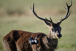 © Licensed to London News Pictures. 09/10/2016. London, UK. A blackbird sitting on the shoulder of a red deer stag, on a bright autumnal morning in Richmond Park, London. . Photo credit: Ben Cawthra/LNP