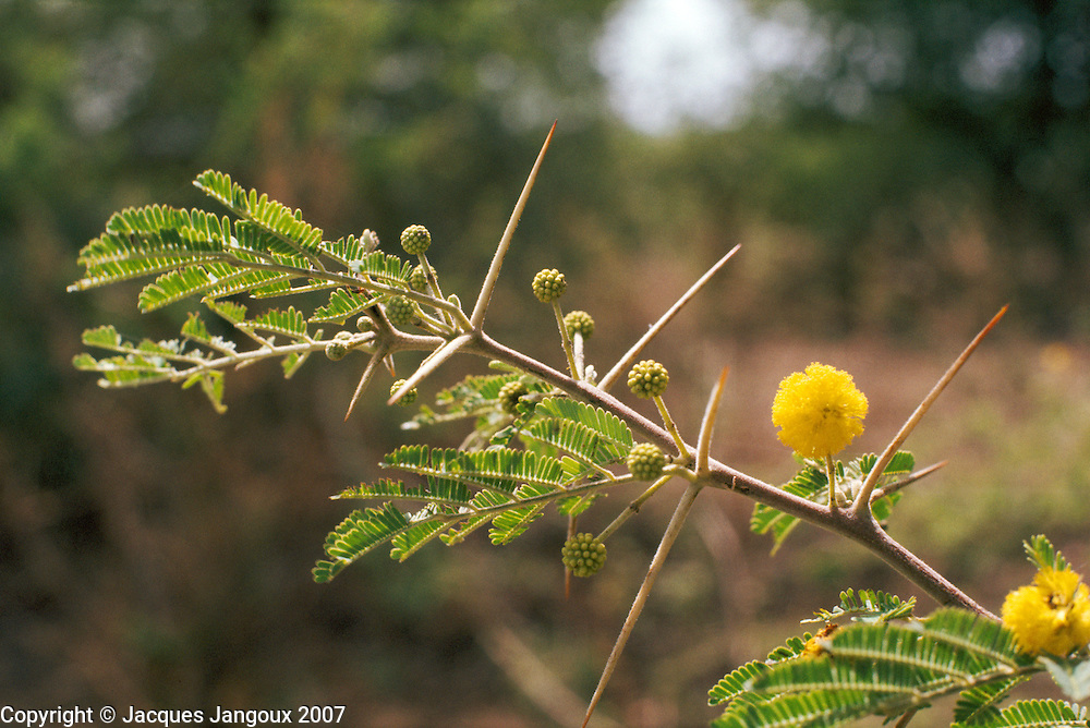 Compound pinnate leaves,thorns and yellow flower clusters of Acacia nilotica (Leguminosae or Fabaceae, subfamily Mimosoideae, alternatively Mimosaceae,), a small tree in sahel vegetation (Islands of Lake Chad, Chad, Africa).