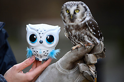 """© Licensed to London News Pictures. 13/11/2019. LONDON, UK. An Owleez owl by Spin Master Toys is seen with a live Tengleman's owl at the preview of """"DreamToys"""", the official toys and games Christmas Preview, held at St Mary's Church in Marylebone.  Recognised as the countdown to Christmas, the Toy Retailer's Association, an independent panel of leading UK toy retailers, have selected the definitive and most authoritative list of which toys will be the hottest property this Christmas..  Photo credit: Stephen Chung/LNP"""