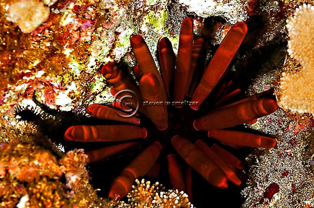 Slate Pencil Urchin, Heterocentrotus mammillatus,  on Maui, Hawaii near Kihei