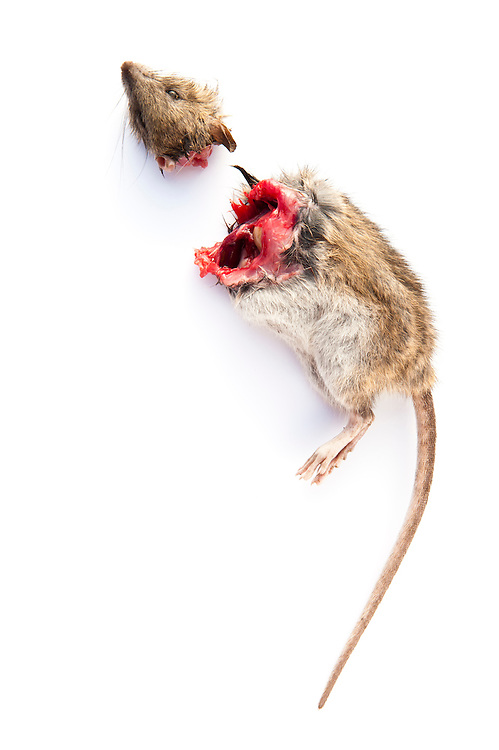 Brown rat decapitated by a domesticated cat, Scotland