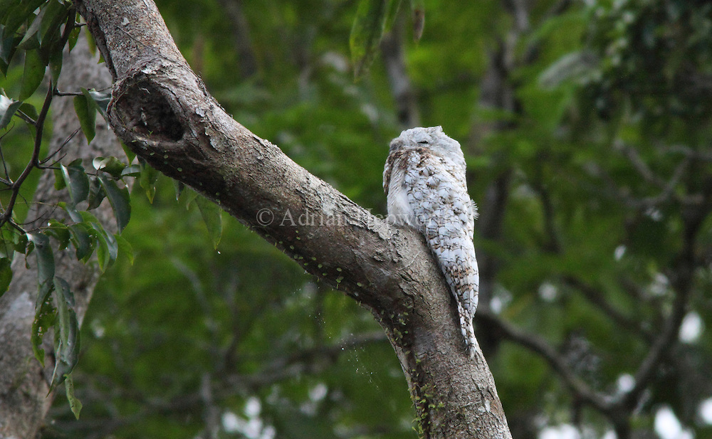 Juvenile Great Potoo (Nyctibius grandis) perched over natural canal, Tortuguero National Park, Costa Rica. <br />