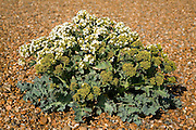 Crambe maritima or sea kale growing on shingle, Shingle Street, Suffolk, England