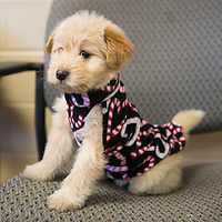 Lauren Wood | Buy at photos.djournal.com<br /> Gavin the puppy models a sweater. (Gavin has been adopted)