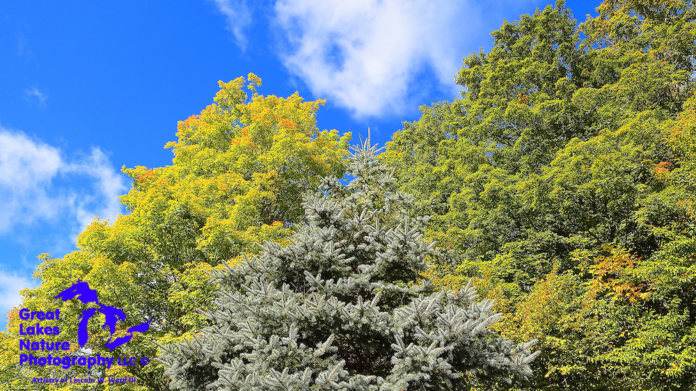 Beautiful green deciduous foliage, just prior to the onset of the fall color change, contrasting against the ever-present spruce of northern Michigan.