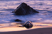 A male northern elephant seal (Mirounga angustirostris) rests in the twilight surf on the beach at the Piedras Blancas Elephant Seal Rookery near San Simeon, California. Elephant seals typically spend 9 months at sea, coming to shore only to give birth and mate. Male elephant seals, known as bulls, are exceptionally large, weighing up to 5,500 pounds (2,500 kilograms). The Piedras Blancas Elephant Seal Rookery is part of the Piedras Blancas State Marine Reserve and Marine Conservation Area, managed by California.