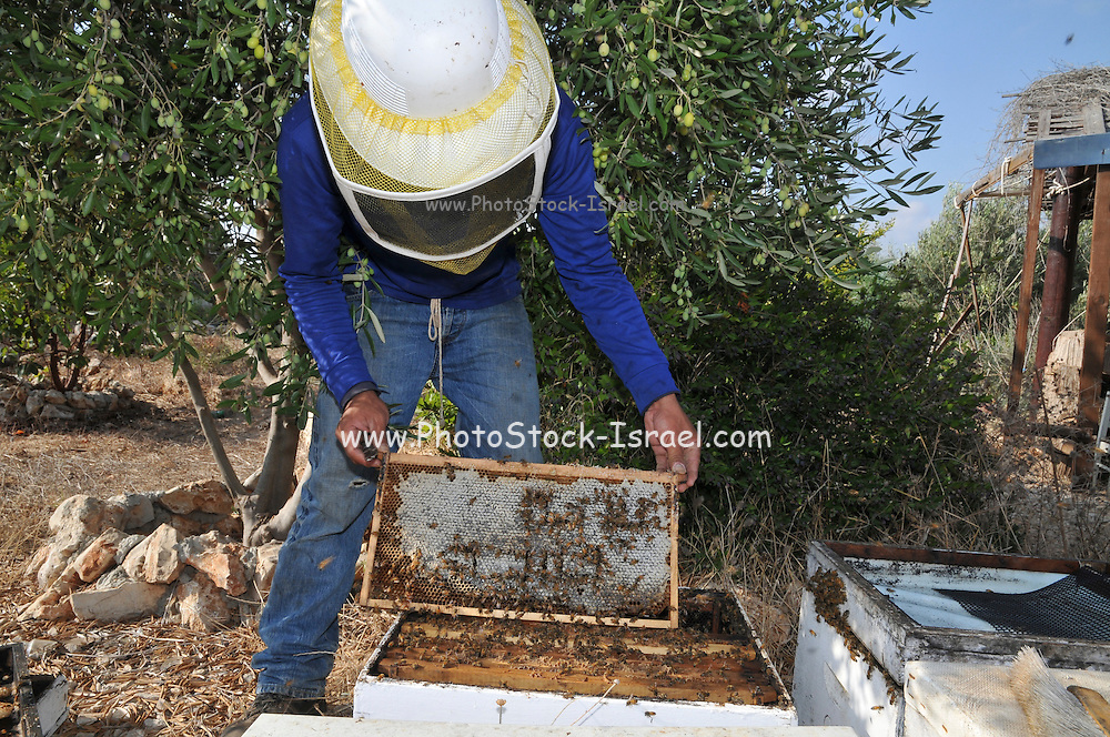 Beekeeper works on a beehive