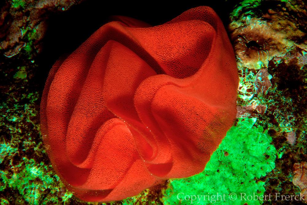 UNDERWATER MARINE LIFE HAWAII, Spanish Dancer Sea Slug, egg mass Hexabranchia sanguinius