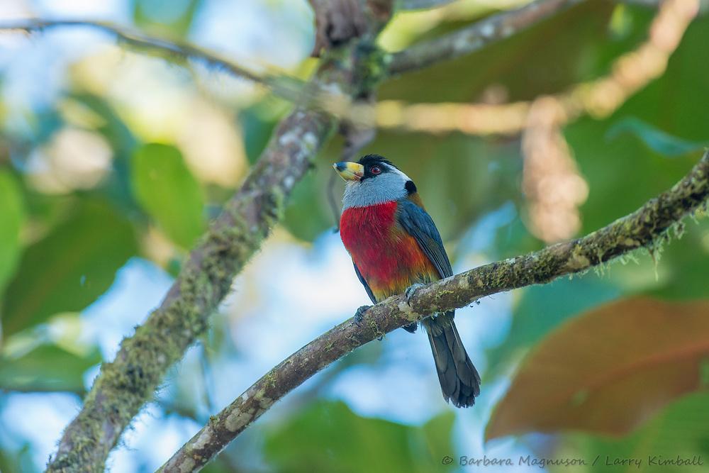 Toucan Barbet [Semnoris ramphastinus] perched; Bellavista Lodge, Ecuador