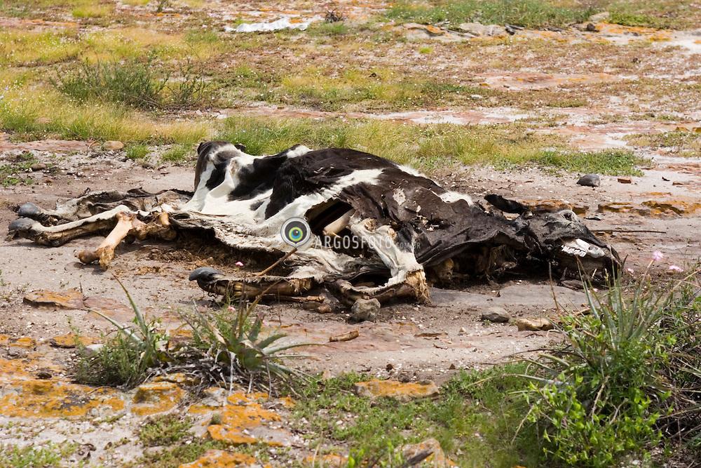 Gado bovino morto na caatinga,  em Olho D'Agua do Casado,  Alagoas. / Carcass of a cow. The trunk of a cow in Caatinga, .Foto Marcos Issa