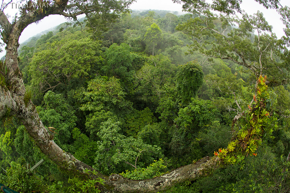 Amazon rain forest canopy view with flowering Bromeliad epiphytes growing on a branch of a giant Ceiba tree..Extra wide view made with fisheye lens...Tiputini Biodiversity Station, Amazon Rain Forest, Ecuador.
