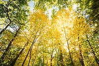 Fall Foliage In Forest / Walden Pond State Reservation, Concord, Massachusetts