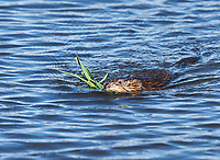 Muskrat (Ondatra zibethicus) towing a fresh catkin to it's lodge, Annapolis Royal Marsh, French Basin trail, Annapolis Royal, Nova Scotia, Canada