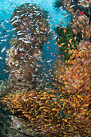 Golden Sweepers Crowd a Coral Pinnacle<br /> <br /> Shot in Indonesia