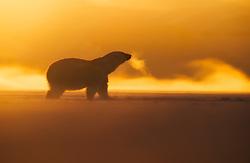 Polar bear (Ursus maritimus) at winter in Svalbard, Norway