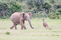 Young African Elephant bull chasing a Kudu cow, Addo Elephant National Park, Eastern Cape, South Africa