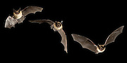 A digital composite capturing the acrobatic maneuvers of three western long-eared myotis (Myotis evotis) in flight. Deschutes National Forest, Oregon.