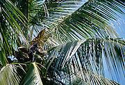 Celebes Crested Macaque (Macaca nigra) | Nur die größten Schopfmakaken können Kokosnüsse pflücken und öffnen.