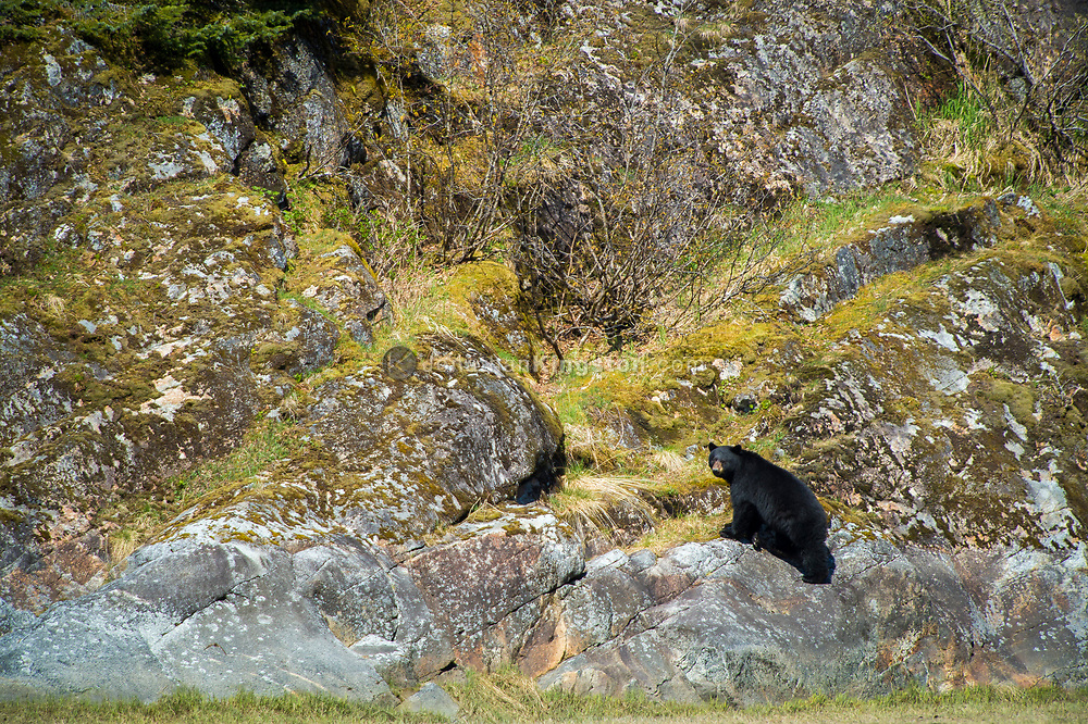 A large black bear (Ursus americanus) foraging for food.