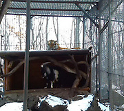 """Tiger and Goat Are best friends in Primary Zoo<br /> <br /> An interesting story is unfolding in Primorye safari park in Russia and thousands of Internet users are watching it. It started with a regular meal that was delivered to a Siberian tiger kept in a park. His name is Amur. So one day Amur got a meal - he often gets live meals - either small rabbits or some other smaller animals, but this time park workers wanted to treat him with a live goat. However, instead of eating it Amur became best friends with an animal that was supposed to become his dinner.<br /> <br /> Tigers of this safari park twice a week are treated with live food. Live literary - the one they can hunt down like they do inwilderness. Amur, the tiger, knows how to hunt down goats and rabbits however he preferred not to kill this particular goat because he was very brave.<br /> <br /> More than that the zoo workers tell the story that the goat evicted the tiger from his """"bedroom"""" and occupied it. Now the tiger sleeps outside and the goat lives inside of the tigers ex house.<br /> <br /> Now they go for a walk together and even get fed together. The tiger never mixesup his friend with his other food he eats and always eats aside from the goat.<br /> <br /> Thousands of Russian people watch for the updates now. They are eager to see each day what's going on with this unusual pair. So the zoo workers post updates daily now. For example now they noticed that the tiger protects the goat from people. If people approach the goat, the tiger hisses and acts aggressively. Zoo workers say that they hadn't noticed such behavior of a tiger before.<br /> <br /> Also the workers saythat each night the goat and the tiger smell each other before going to sleep.<br /> <br /> Then each morning they both go to the big park outside for a walk. At first the tiger walks out of their place and then he waits for the goat to join him. Then they go to the park together.The zoo workers say the animals are always spending th"""