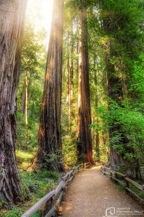 Photo taken on main Muir Woods monumment trail of California Redwwod trees.