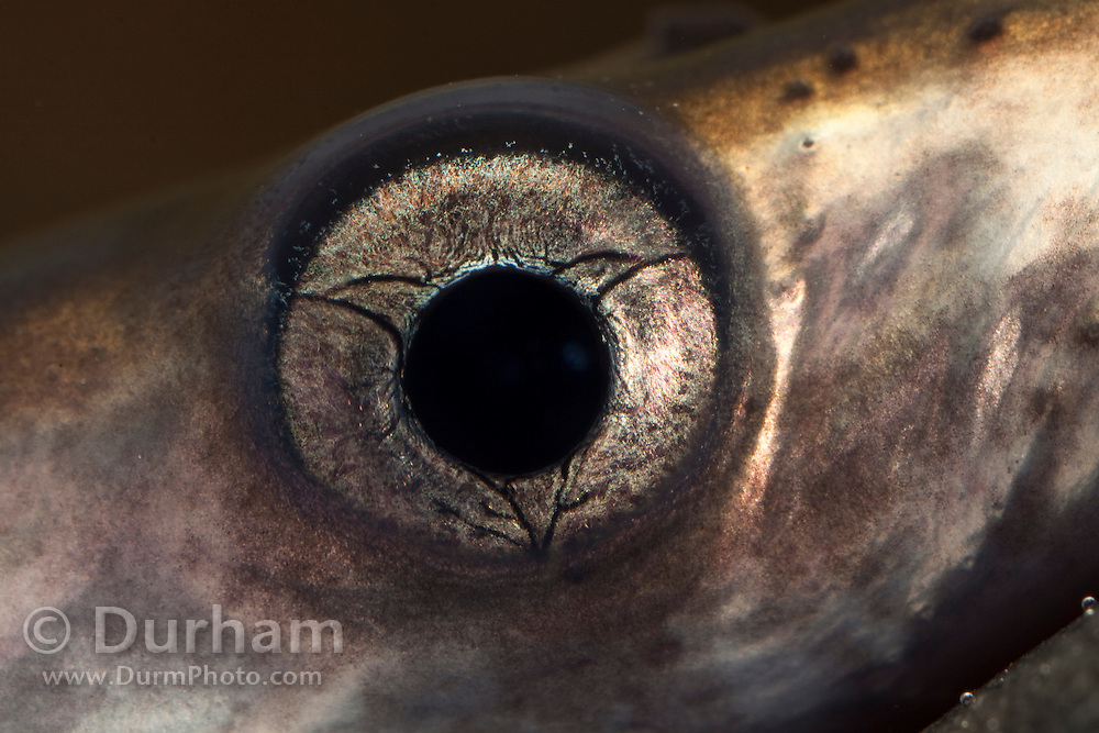 The eye of a juvenile Pacific Lamprey (Lampetra tridentata). These fish have an ancient lineage, appearing in the fossil record nearly 450 million years ago – well before the age of the dinosaurs. Pacific lamprey are an important ceremonial food for Native American tribes in the Columbia River basin. Little is known about the life history or habits of this fish except that their numbers in the Columbia River have greatly declined over several decades. Photographed at the USGS Columbia River Research Lab in Willard, Washington.