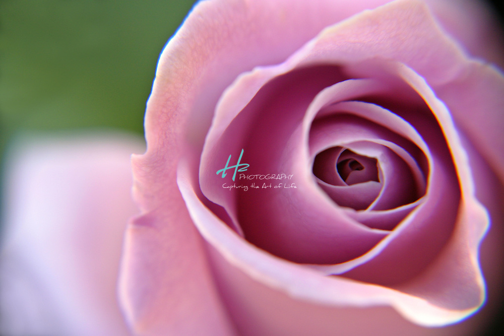 Subject: Rosa .Habitat:  Gardens, Roses prefer the fullest amount of sun, but will tolerate some light shade.Location: Santa Barbara, CA.Magnification:  1:1