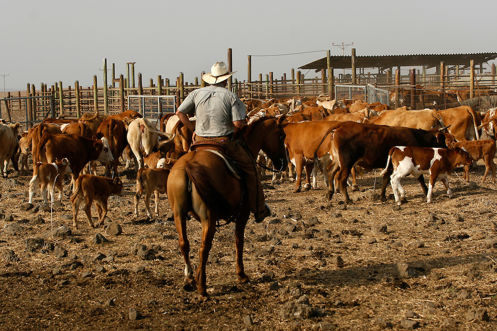 Binyamin Taljdard  33 gathering the cattle for veterinary checks in Moshav Yehonatan in the Golan height, Israel. Monday October, 01, 2007